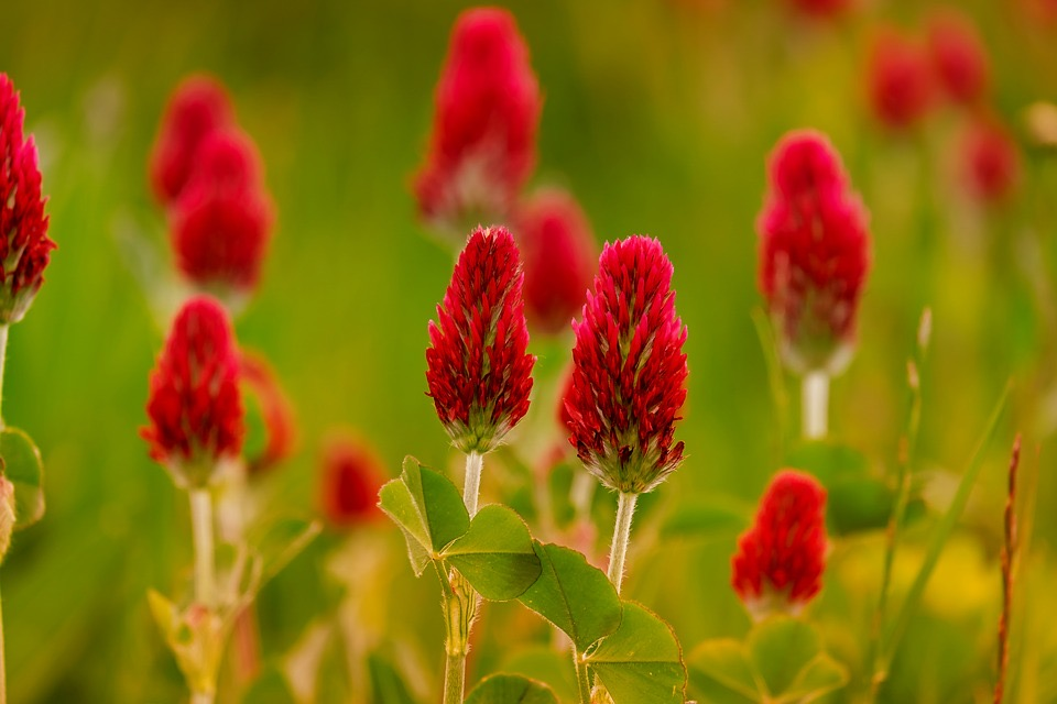 red clover flower for lymphatic health