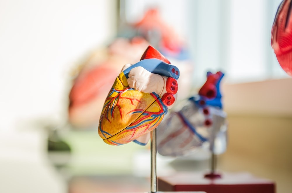 Model of a heart. Massage benefits include improving circulation