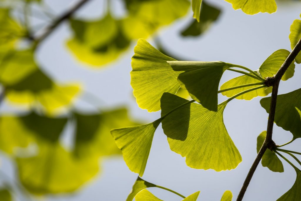 Ginkgo tree. An ingredient in neuro peaks nootropic for cognitive health.